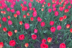 Tulpenmeer-in-Wien