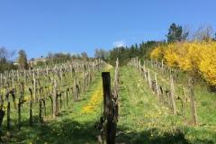 Weingärten-in-Grinzing