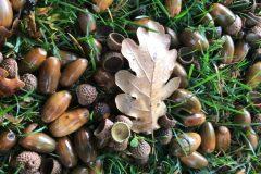 Eicheln und Blätter